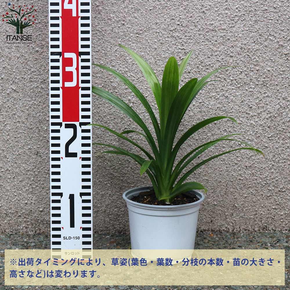 ニオイタコノキ(パンダンリーフ/ニオイアダン) 【ハーブ苗 12cmポット苗 1個売り】パンダンリーフは、アジア、アフリカ、環太平洋の熱帯地域で育つタコノキ科の植物です。