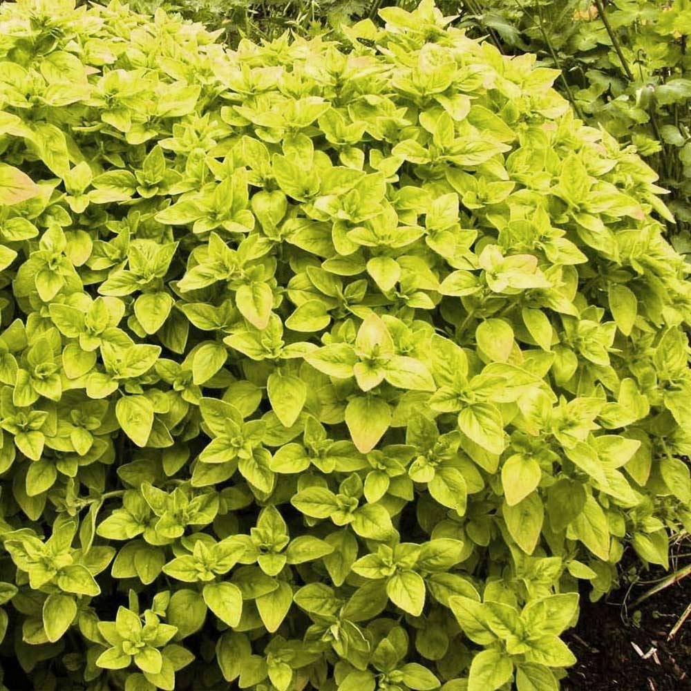 【送料無料】オレガノ ゴールド 10.5cm 2個セット【おうちで簡単!育てやすい10.5cmポットハーブ苗シリーズ!】根張り・大きさ・選別が良いので、育てやすい!生育簡単で初心者にもオススメのハーブシリーズです!ガーデニングや家庭菜園に!