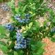 「ブルークロップ」ハイブッシュ系ブルーベリー苗木9cmポット(挿し木苗)【1個】【ポット苗なのでほぼ年中植付けOK!即出荷!送料込み価格!】