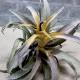 【送料無料】エアープランツ チランジア カピタータ イエロースター Lサイズ【幅約27cm×高さ約20cm Lサイズ/1個】T.Capitata Yellow Star ティランジア エアプランツ 土がいらない 観葉植物 人気 おしゃれ インテリア