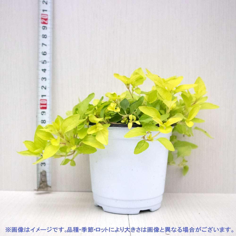 【送料無料】オレガノ ゴールド 10.5cm 4個セット【おうちで簡単!育てやすい10.5cmポットハーブ苗シリーズ!】根張り・大きさ・選別が良いので、育てやすい!生育簡単で初心者にもオススメのハーブシリーズです!ガーデニングや家庭菜園に!