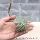 【送料無料】エアープランツ チランジア フックシー・フックシー Lサイズ【幅約10cm×高さ約6cm Lサイズ/1個】T.fuchsii var.fuchsii ティランジア エアプランツ 土がいらない 観葉植物 人気 おしゃれ インテリア