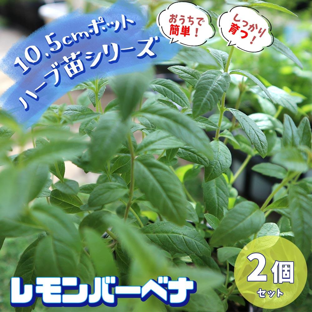 【送料無料】レモンバーベナ 10.5cm 2個セット【おうちで簡単!育てやすい10.5cmポットハーブ苗シリーズ!】根張り・大きさ・選別が良いので、育てやすい!生育簡単で初心者にもオススメのハーブシリーズです!ガーデニングや家庭菜園に!