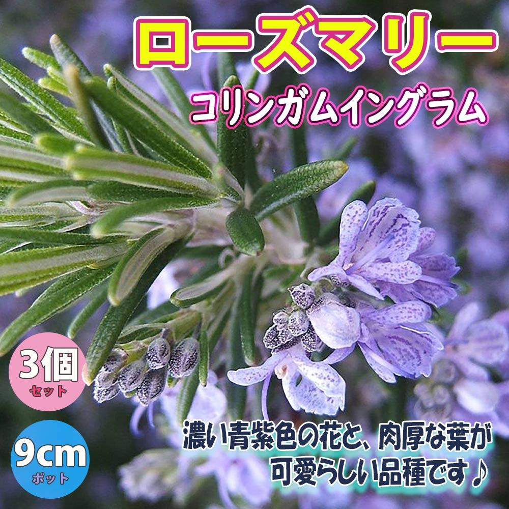 ローズマリーコリンガムイングラム ハーブ苗9cmポット【3個セット】