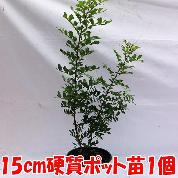 「ピスタチオ15cm硬質ポット苗木(観賞用品種) 1本売り」 希少価値のあるピスタチオの仲間です。食用のよく知られているピスタチオとは異なる植物。