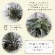 【送料無料】エアープランツ チランジア テクトラム XLサイズ【幅約25cm×高さ約10cm XLサイズ/1個】T.Tectorum ティランジア エアプランツ 土がいらない 観葉植物 人気 おしゃれ インテリア