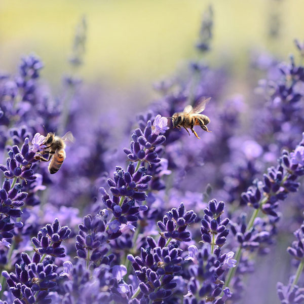 ラベンダー 濃紫3号【9cmポットハーブ苗 2個セット】花の香りが良く観賞用の中でも人気が高く、開花前が一番濃い紫色になる富良野で栽培されている品種。耐寒性があり庭に植えたまま越冬出来ます。