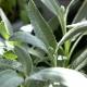 【送料無料】ホワイトセージ ナザレ 10.5cm 2個セット【おうちで簡単!育てやすい10.5cmポットハーブ苗シリーズ!】根張り・大きさ・選別が良いので、育てやすい!生育簡単で初心者にもオススメのハーブシリーズです!ガーデニングや家庭菜園に!