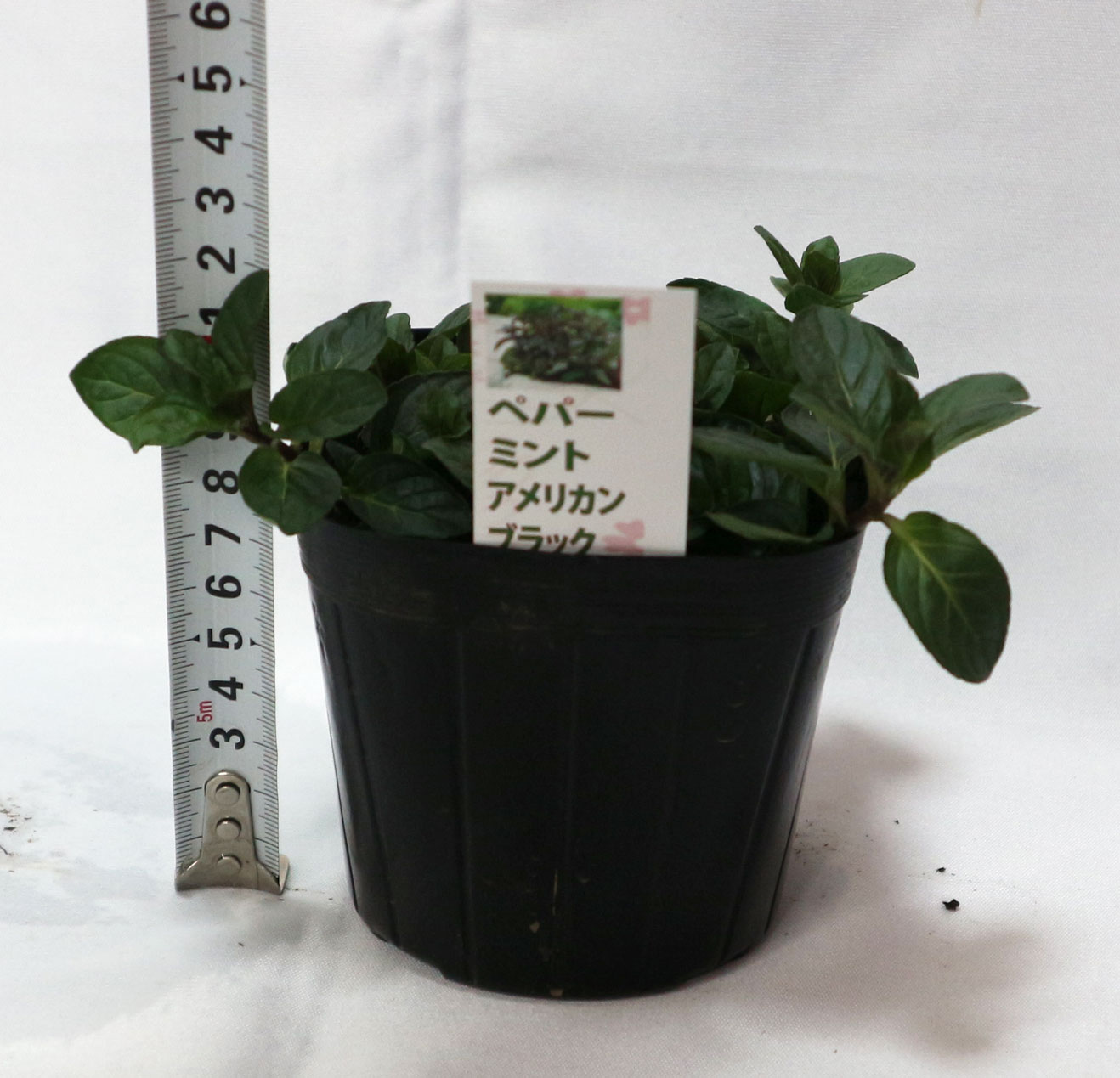 「ペパーミント アメリカンブラック」ハーブ10.5cmポット苗 通年植付け可能!【2個セット】【即出荷/送料無料】