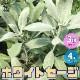 【送料無料】ホワイトセージの苗 【ハーブの苗 4号ポット大苗/お買い得3個セット】カリフォルニア ホワイトセージ サルビア・アピアナ ハーブ苗 ハーブの苗 herb苗