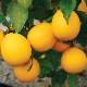 早成り大実レモンの苗木 樹高:約60cm1本(育てやすく寒さに強いマイヤーレモン)【12〜15cmポット/2年生接木苗】【即出荷!】 【送料無料】