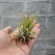 【送料無料】エアープランツ チランジア イオナンタ ルブラ Sサイズ【幅約7cm×高さ約6cm Sサイズ/1個】T.ionantha 'Rubra' ティランジア エアプランツ 土がいらない 観葉植物 人気 おしゃれ インテリア