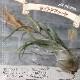 【送料無料】エアープランツ チランジア カプトメドゥーサ Lサイズ【幅約20cm×高さ約10cm Lサイズ/1個】T.caput-medusae ティランジア エアプランツ 土がいらない 観葉植物 人気 おしゃれ インテリア