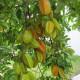 【送料無料】スターフルーツの苗 【果樹の苗木 13.5cmポット  /1個売り】スターフルーツ苗 五斂子 ゴレンシ ごれんし カタバミ科 starfruit carambola Averrhoa carambola 楊桃 羊桃