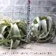 【送料無料】エアープランツ チランジア キセログラフィカ Rサイズ【幅約16cm×高さ約12cm Rサイズ/1個】T.xerographica ティランジア エアプランツ 土がいらない 観葉植物 人気 おしゃれ インテリア