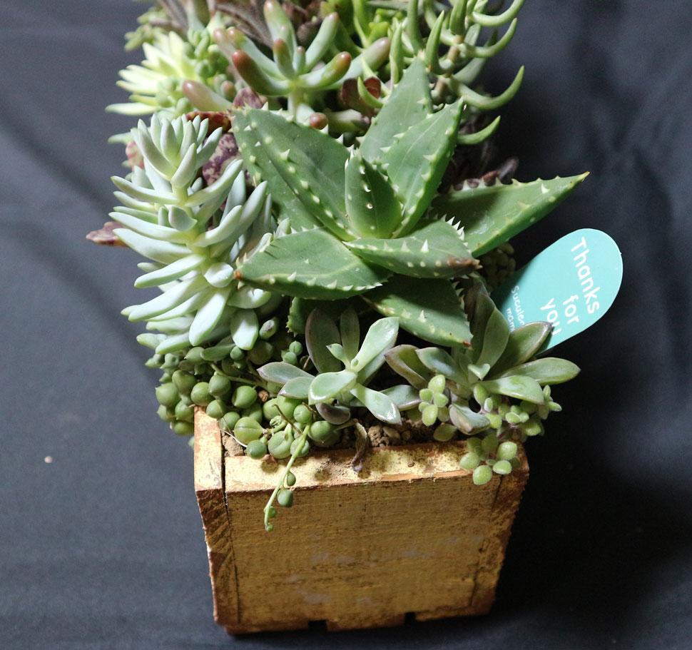 多肉植物豪華寄せ植え カクト・ロコ47cm幅ダメージペイントウッドボックス 1点もの【送料無料】