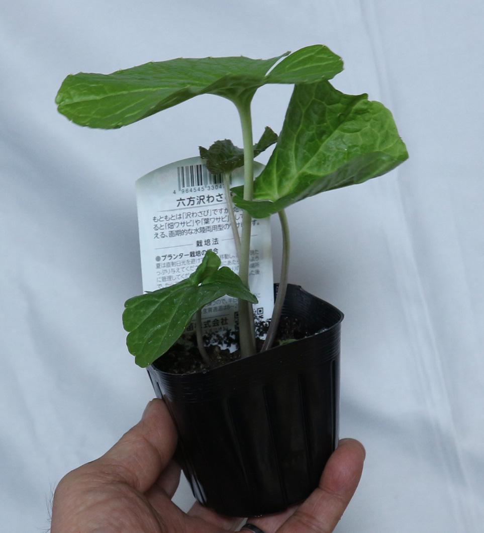 六方沢わさび NEW野菜苗 9cmポット お得な2個セット(プランターや畑で作れる新しいわさび品種)【即出荷!送料込み価格!】