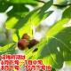 ミニイチジク ドウロウ【果樹苗9cmポット/2個セット】夏秋果兼用種の無花果。果皮は赤橙で果肉はイチゴ色。とても甘い品種で後味がスッキリしていてとても食べやすいのが特徴!!そのまま凍らして、シャーベットにしても美味しい。