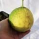 超ジャンボレモン ポンテローザの苗木 樹高:約50cm1本売り【12cmロングポット/2年生挿し木苗】【送料無料】【即出荷】