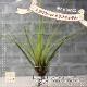 【送料無料】エアープランツ チランジア トリコロール メラノクラテル Lサイズ【幅約20cm×高さ約25cm Lサイズ/1個】T.tricolor var.melanocrater ティランジア エアプランツ 土がいらない 観葉植物 人気 おしゃれ インテリア