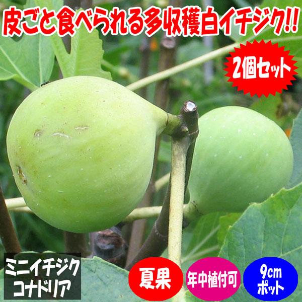 ミニ白イチジク コナドリア【果樹苗9cmポット/2個セット】夏秋果兼用種の無花果。生食でも上品な美味しさですが、干しイチジクにすると更に美味しくいただけます。自社農場から新鮮出荷!!