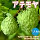 【送料無料】アテモヤの苗木 熱帯果樹【果樹の苗木 13.5cmセミロングPOT  接木苗/1個売り】フロリダで品種改良 ハイブリッドフルーツ 森のアイスクリーム トロピカルフルーツ 熱帯果樹