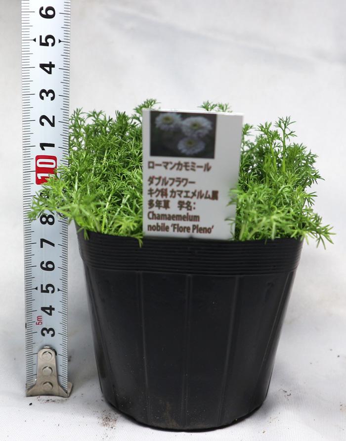 「ローマンカモミールダブルフラワー」ハーブ10.5cmポット大苗 自社農場から新鮮直送!!通年植付け可能!10.5cmポット/10.5cmポットの大苗なのでスピード収穫可能!【2個セット】【送料無料】