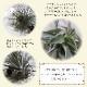 【送料無料】エアープランツ チランジア フリーセア ラシナエ【幅約8cm×高さ約5cm/1個】T.Vriesea racinae ティランジア エアプランツ 土がいらない 観葉植物 人気 おしゃれ インテリア