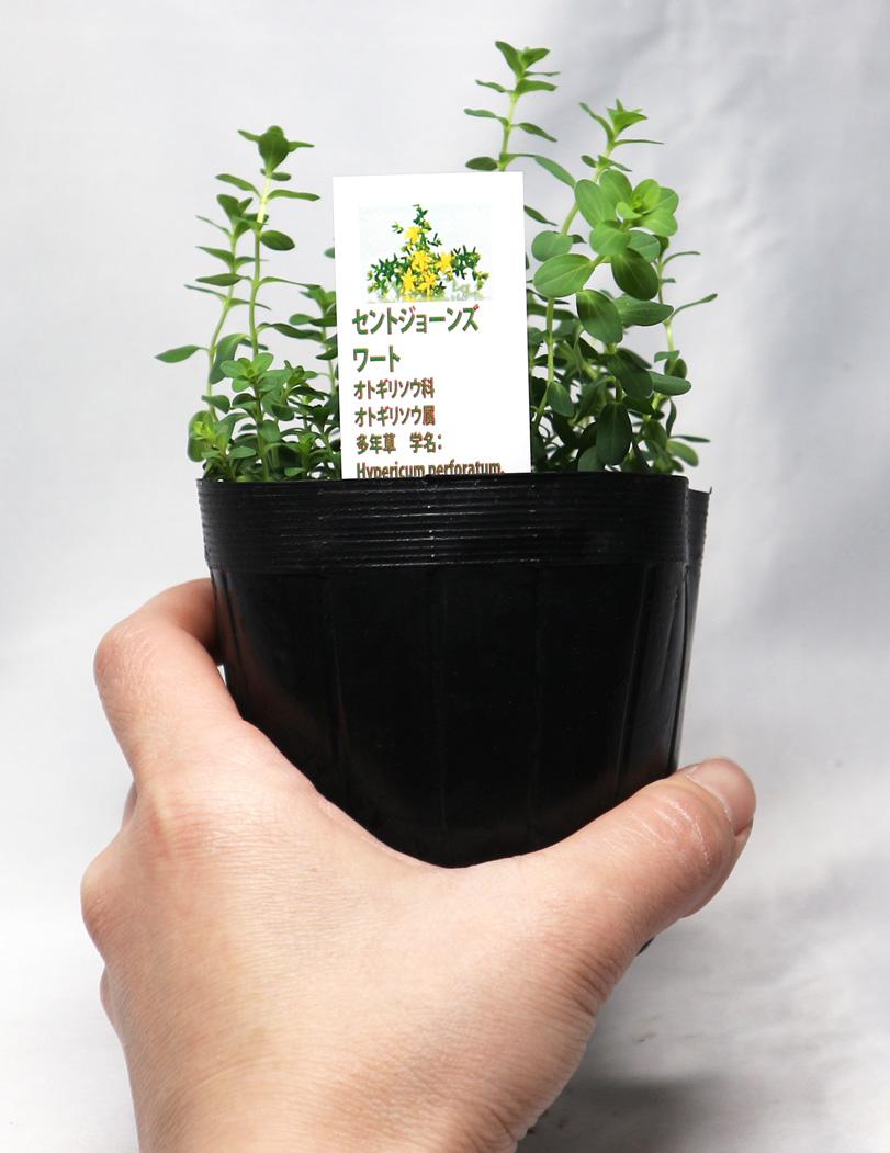 「セントジョーンズワート」ハーブ10.5cmポット大苗 自社農場から新鮮直送!!通年植付け可能!10.5cmポット/10.5cmポットの大苗なのでスピード収穫可能!【2個セット】【送料無料】