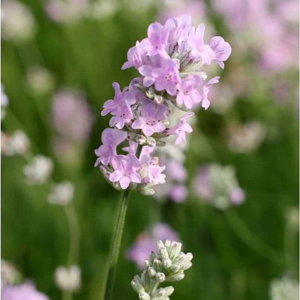「ラベンダー イングリッシュ ヒドコートピンク」【品種で選べるハーブ苗9cmポット/2個セット】耐寒性多年草 花茎、花穂ともに短い小型のタイプ。 濃紫色の花。トルーラベンダーが元になった栽培品種。 花色が非常に濃く美しい品種で、ラベンダーの風景には欠かせない存在。