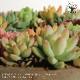 【送料無料】多肉植物 寄せ植え succulent wreath M(多肉リースM)【多肉植物 サイズイメージ:高さ約8cm×幅約16cm×奥行約16cm  /1個売り】多肉植物 寄せ植え メルヘン ヨーロッパ ドイツ オールドハウス リース