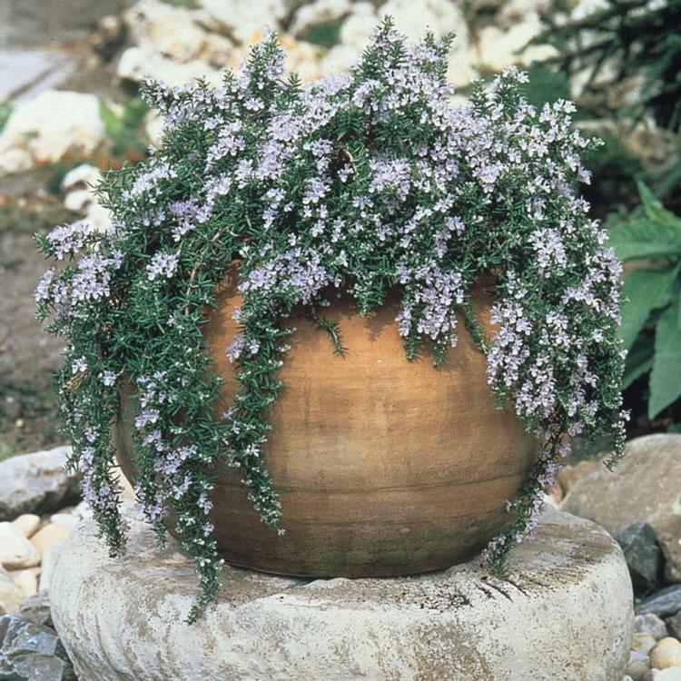 「ローズマリー サンタバーバラ」【品種で選べるハーブ苗9cmポット/2個セット】ほふく性で枝が良く伸び、薄いブルーの花を咲かせます。四季咲性が強く、調子がいいと周年咲いています。鉢植えにするとコンパクトに楽しめます。【即出荷!送料込み価格】