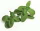 「モロッコミント」ハーブ10.5cmポット苗【2個セット】【即出荷!送料込み価格】