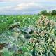 すずなりブロッコリー初夏どりタイプの苗(多収穫、長期間収穫できる茎ブロッコリー品種)【野菜苗9cmポット/3個セット】ブロッコリー苗 春野菜 夏野菜 ベランダ プランター 鉢植え 露地植え 家庭菜園 簡単 栽培 ぶろっこりー スティックブロッコリー broccoli 多収穫
