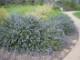 「ローズマリー マックコネルズブルー」【品種で選べるハーブ苗9cmポット/2個セット】ほふく性のローズマリー。小さく短い葉が密につき、よく茂りながら伸びる。淡い青紫の花を、枝いっぱいに咲かせ、花期も長い。【即出荷!送料込み価格】