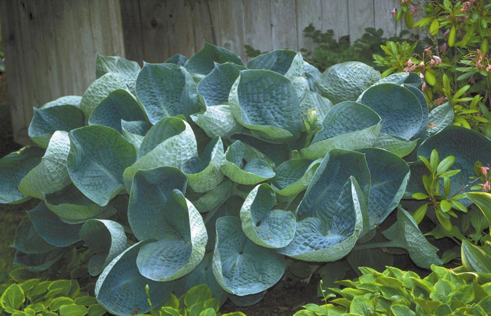 ホスタ2年生苗「アビカドリンキングゴード」【6号鉢1鉢】 ブルー系の葉色で丈夫な品種です。多彩な葉色、葉形、質感、斑の入り方、花の美しさ、芳香、と魅力たっぷりなギボウシ。存在感があります。丈夫なので初心者にも失敗なく育てられます。自社農場から新鮮直送!!