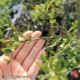 フィンガーライム グリーン 樹高:約80〜100cm1本売り【12cmロングポット/3年生接木苗】フィンガーライムは、「キャビア・ライム」とも呼ばれています日本ではまだ希少な柑橘果樹です!!【自社農場から新鮮苗直送!!】【送料無料】