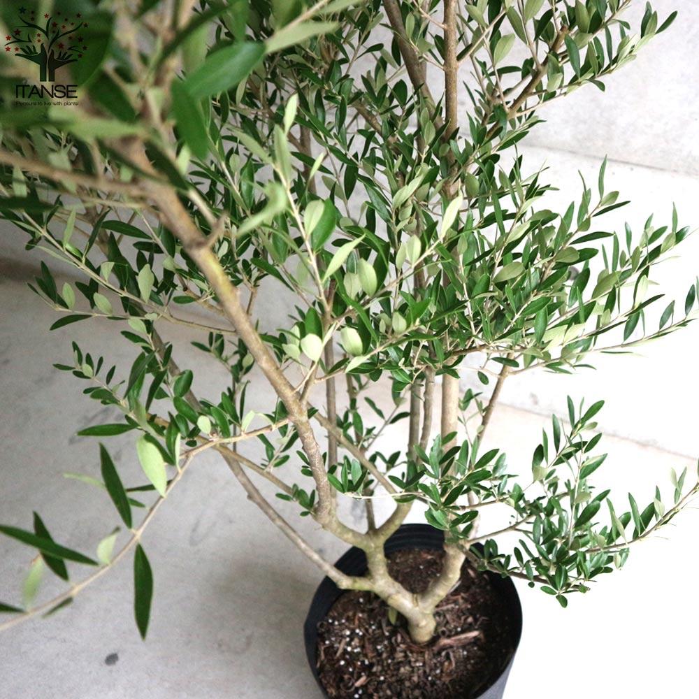 【送料無料】オリーブの苗木 エルグレコ【果樹の苗木  9号鉢大苗  /1個売り】オリーブ苗 オリーブ苗木 オリーブの苗木 オリーブの苗 おりーぶ ひなかぜ hinakaze olive シンボルツリー