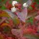 """「大実サザンブッシュ系ブルーベリー""""サザンオニール""""12cmポット苗」""""秋が植え時の果樹苗""""【1個売り/即出荷/送料無料】"""