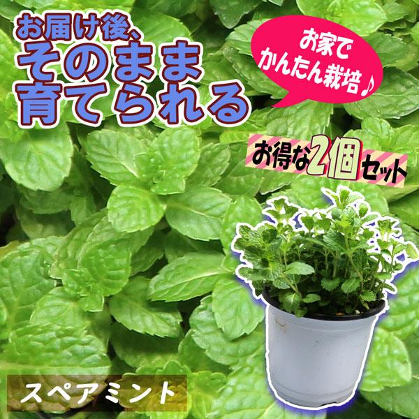 「スペアミント」ハーブBN硬質12cmポット大苗 自社農場から新鮮直送!!通年植付け可能!大苗なのでこのまま水をやるだけでも、そこそこの大きさに育てることが出来ます!本格的な収穫の為には大きな鉢か花壇に植え付けて下さい。【2個セット】【即出荷!送料込み価格】
