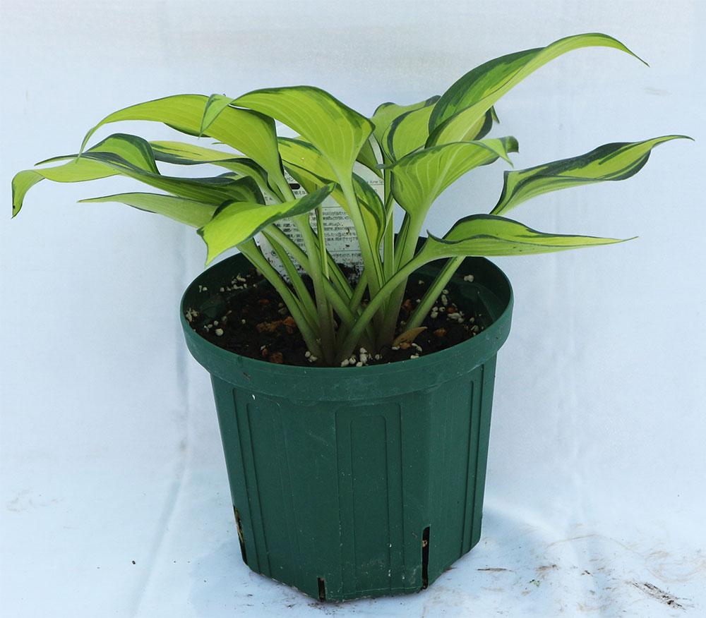 ホスタ2年生苗「ジューンスピリット」【6号鉢1鉢】 ジューンスピリットは、葉色のコントラストが美しい中型種。濃緑の覆輪もきれいです。ギボウシは多彩で魅力たっぷりです。和風庭園にも洋風ガーデンにもしっくりと合い存在感があります。自社農場から新鮮直送!!