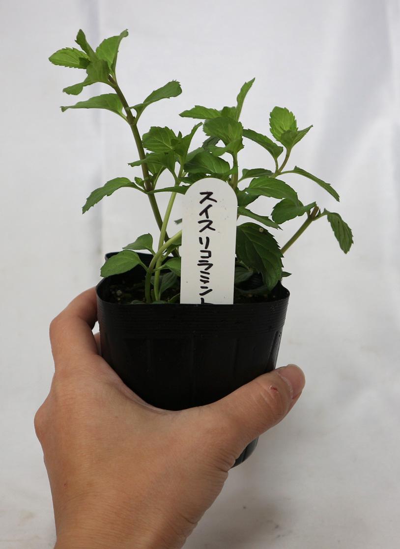 「スイスリコラミント」ハーブ10.5cmポット苗【2個セット】【即出荷!送料込み価格】