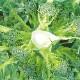 味わいブロッコリーロングラン初夏どりタイプ(多収穫、長期間収穫できるブロッコリー品種)【野菜苗9cmポット/お買い得6個セット】ブロッコリー苗 春野菜 夏野菜 ベランダ プランター 鉢植え 露地植え 家庭菜園 簡単 栽培 ぶろっこりー スティックブロッコリー broccoli 多収
