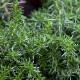 【送料無料】ローズマリー ハイファ 10.5cm 2個セット【おうちで簡単!育てやすい10.5cmポットハーブ苗シリーズ!】根張り・大きさ・選別が良いので、育てやすい!生育簡単で初心者にもオススメのハーブシリーズです!ガーデニングや家庭菜園に!