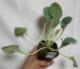 オイスターリーフ 3個セット(生牡蠣の味がする人気のオードブル野菜!)【9cmポット苗/3個セット】【送料無料】