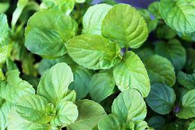 「クールミント」ハーブBN硬質12cmポット大苗 自社農場から新鮮直送!!通年植付け可能!大苗なのでこのまま水をやるだけでも、そこそこの大きさに育てることが出来ます!本格的な収穫の為には大きな鉢か花壇に植え付けて下さい。【2個セット】【即出荷/送料無料】