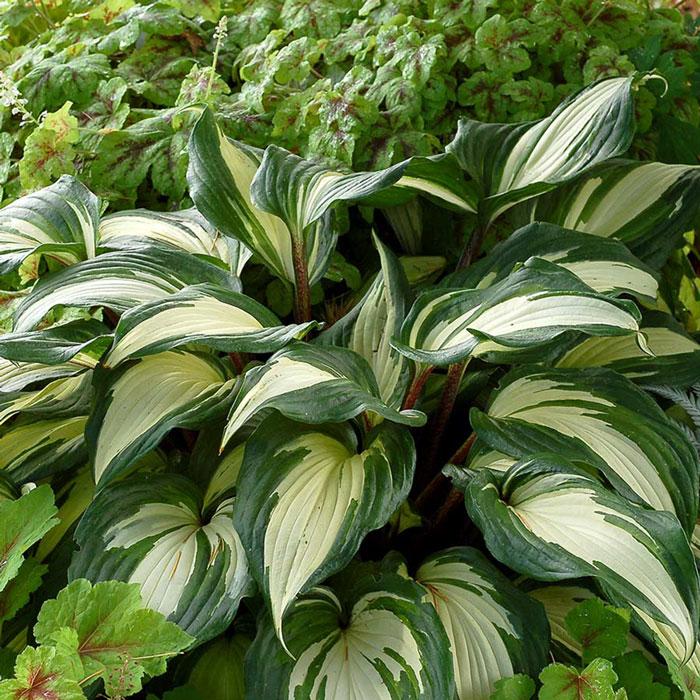 ホスタ2年生苗「ラズベリーサンデー」【6号鉢1鉢】 ラズベリーサンデーは、葉の付け根に赤い色が入る珍しい品種。緑葉に白のくっきりした中斑が鮮やかです。自社農場から新鮮直送!!【送料無料】