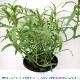 【送料無料】フレンチタラゴン 10.5cm 2個セット【おうちで簡単!育てやすい10.5cmポットハーブ苗シリーズ!】根張り・大きさ・選別が良いので、育てやすい!生育簡単で初心者にもオススメのハーブシリーズです!ガーデニングや家庭菜園に!