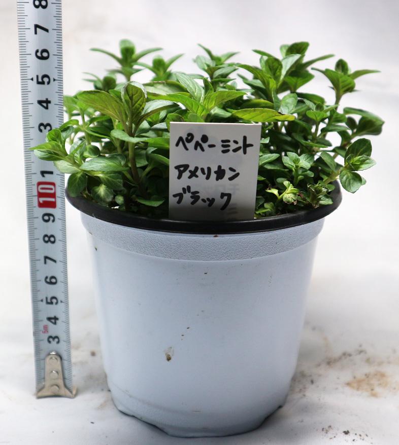 ペパーミントアメリカンブラック ハーブ苗 【BN硬質12cmポット大苗2個セット】 通年植付け可能!大苗なのでこのまま水をやるだけでも、そこそこの大きさに育てることが出来ます!本格的な収穫の為には大きな鉢か花壇に植え付けて下さい。自社農場から新鮮直送!!