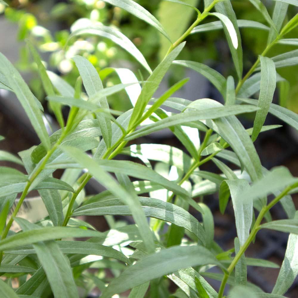 【送料無料】フレンチタラゴン 10.5cm 4個セット【おうちで簡単!育てやすい10.5cmポットハーブ苗シリーズ!】根張り・大きさ・選別が良いので、育てやすい!生育簡単で初心者にもオススメのハーブシリーズです!ガーデニングや家庭菜園に!